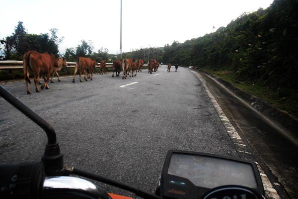 Animaux sur la route au Vietnam