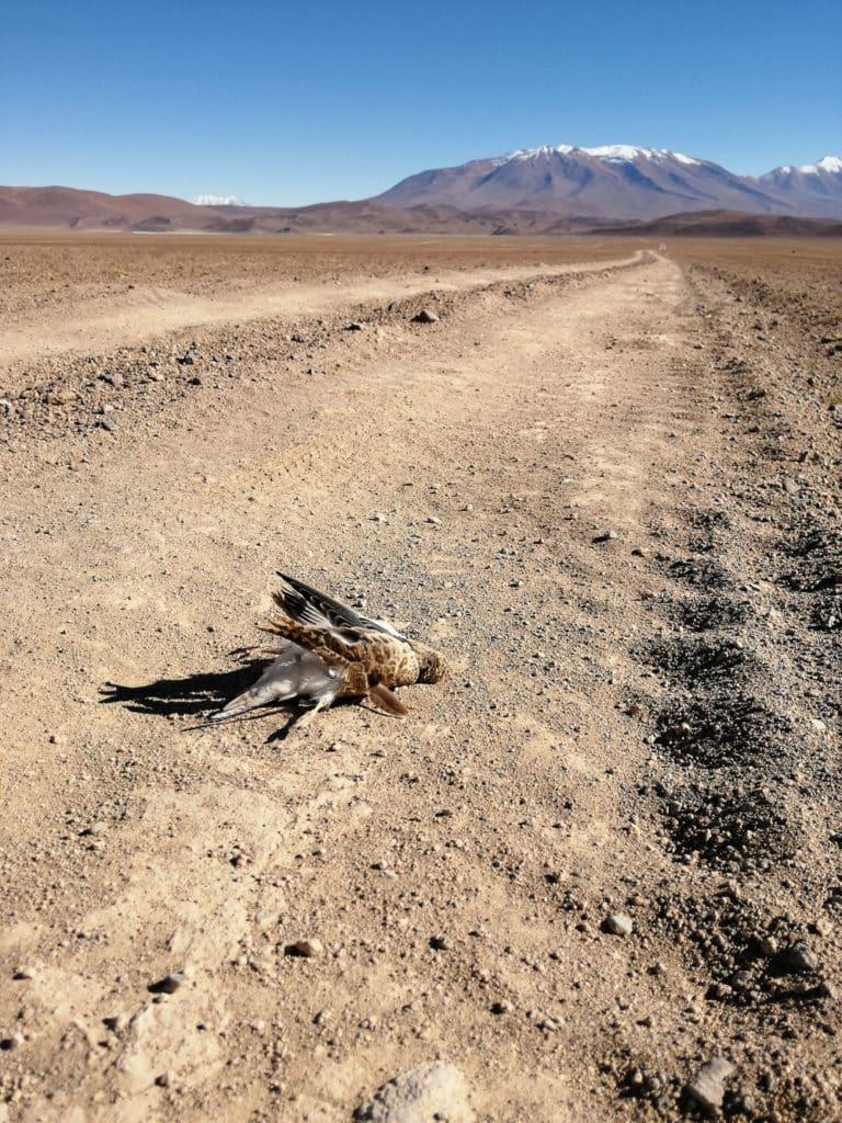 Oiseau mort sur la route en Bolivie
